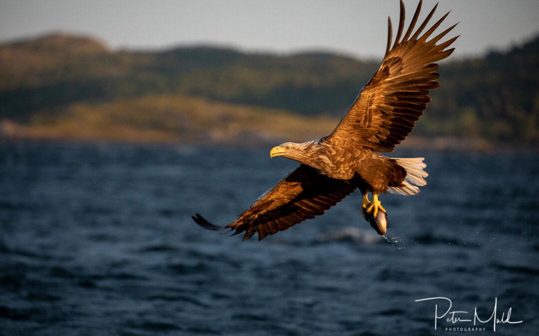 Örnfotografering i Flatanger