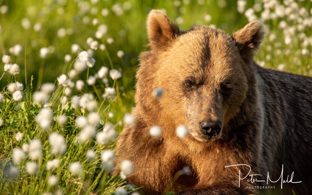 Brunbjörnar i Sverige
